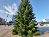Na rynku w Katowicach jest już choinka. To ogromna jodła z Koniakowa. Zostanie udekorowana i rozświetlona na początku grudnia