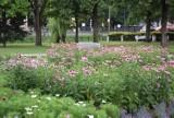 Miejskie rabaty w Pruszczu. Kolorowe kwiaty przyciągają motyle i inne owady. Zobaczcie zdjęcia!