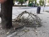Z centrum Goleniowa zniknie kilka wiśni japońskich. Wycinka wkrótce