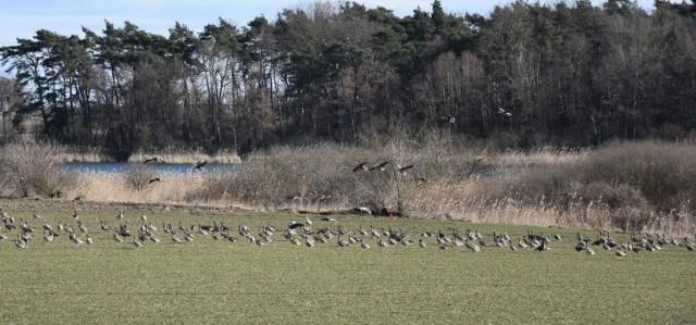 Te dzikie gęsi stołowały się na polach w powiecie żnińskim. Zasmakowały im zboża ozime