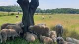 Kraków. Stado owiec żyje w mieście! Możesz je zobaczyć z bliska [ZDJĘCIA]