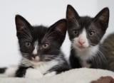 Ależ one są urocze! Malborskie Stowarzyszenie Przyjaciół Zwierząt Reks szuka domów dla kociąt i szczeniąt. Domy tymczasowe pękają w szwach