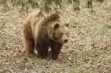 Lubań: W lesie grasuje niedźwiedź?