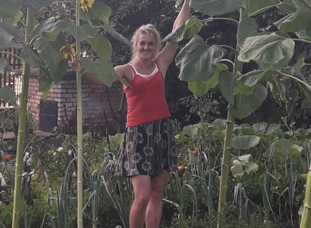 Takie słoneczniki wyrosły na działce naszej Czytelniczki