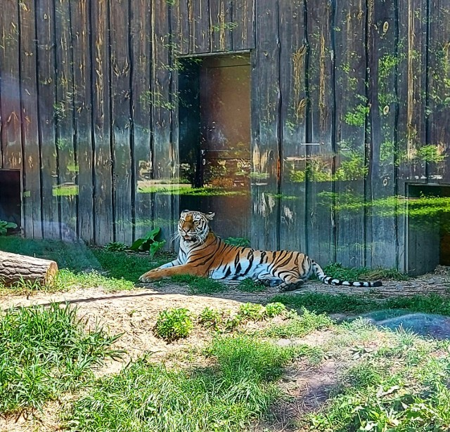 Śląski Ogród Zoologiczny obchodził Światowy Dzień Tygrysa. Z tej okazji najmłodsi w chorzowskim zoo w alejkach mogli spotkać chodzącego tygrysa. Jakie inne atrakcje czekały na odwiedzających?
