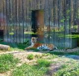 W Śląskim Ogrodzie Zoologicznym był obchodzony Dzień Tygrysa