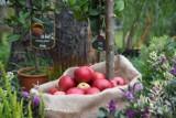Jabłoniowy zawrót głowy 2021 w Łęknicy. Kosze rumianych jabłek i pachnące chleby