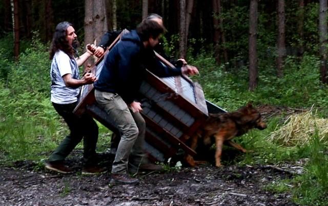 Poszkodowany w marcu w wypadku drogowym wilk Wolfik po leczeniu w ORZCh w Przemyślu wrócił do natury.