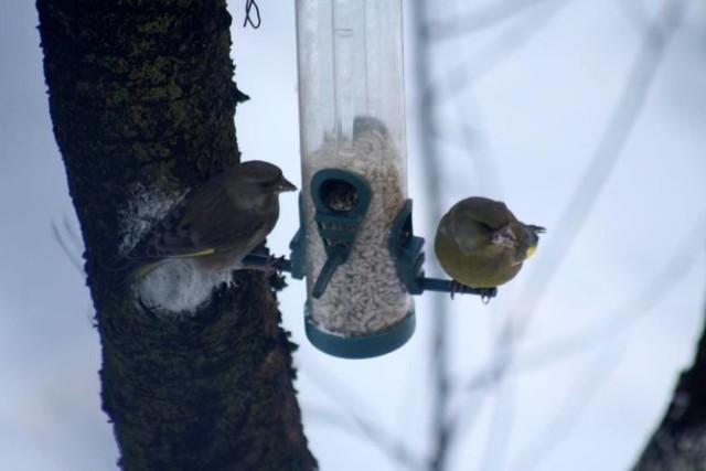 Zimą ptaki potrzebują naszej pomocy, ale ich dokarmianie nie jest takie proste, jak może się wydawać. Trzeba znać podstawowe zasady