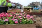 Wągrowiec. Wzdłuż ulicy Kościuszki posadzono stokrotki. Do miasta zawitała wiosna!