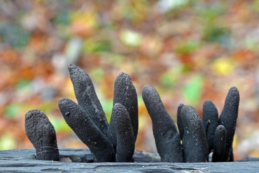 """Tego grzyba nazywa się """"palcem nieboszczyka"""" (w języku..."""