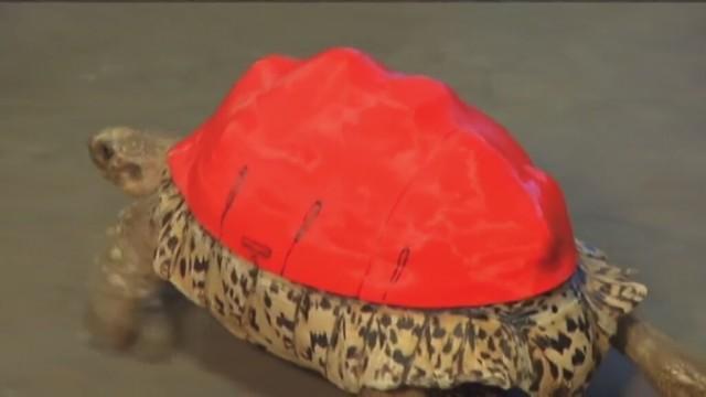 Żółw z nową wydrukowaną skorupą