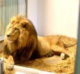 Lew w Canpolu. Zwierzęta w ogrodzie Sieroczynie znów mają króla. To siedmioletni lew Torko. Razem z nim z Hiszpanii przyjecha lwica Ryta