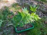 Marihuana zamiast selera i rozmarynu. Takie sadzonki znaleziono w gdyńskim lesie