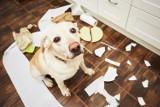 Oto najbardziej nieposłuszne rasy psów! Te psy chodzą własnymi drogami, a komendy właścicieli mają w głębokim poważaniu [6.05.2021]