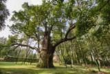 One pamiętają bitwę pod Grunwaldem. Najstarsze drzewa w Polsce, które musisz zobaczyć