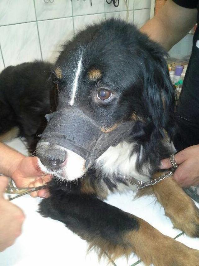 W momencie odebrania właścicielce, Sawa ważyła ponad dwa razy mniej niż powinien ważyć pies tej razy w jej wieku