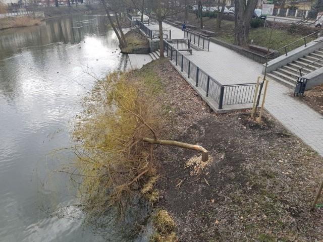 Ścięte przez bobry drzewo nad Młynówką w centrum Opola.