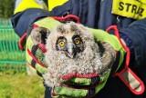 Dramatyczna akcja strażaków w Witowicach Dolnych. Uratowali trzy młode sowy
