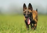 Na posiadanie takich ras psów trzeba mieć pozwolenie. Lista może niektórych zaskakiwać [lista]
