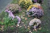 Z ulic miasta zaczęły znikać chryzantemy, które miasto niedawno zakupiło od kwiaciarzy