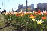 Zielona Warszawa. Ponad pół miliona nowych kwiatów w stolicy. Miasto pięknieje na wiosnę