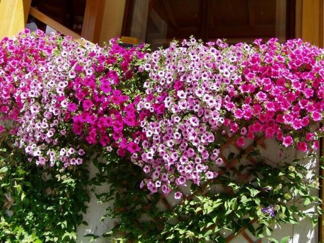 """Jak uzyskać taką """"burzę"""" kwiatów? Specjaliści mówią - trzeba stosować nawozy, ogrodnicy - wystarczy mieć przysłowiową rękę do kwiatów."""