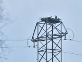 To niesamowita wiadomość. Para sokołów wędrownych zajęła gniazdo na terenie nadleśnictwa Lubsko