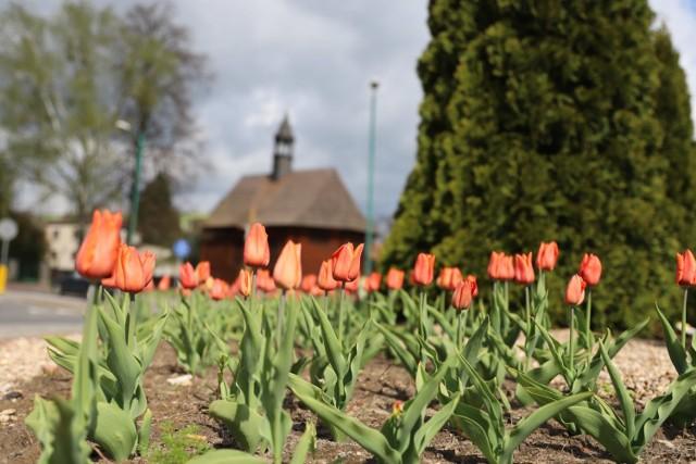 Wiosna na dobre zawitała do Lubińca. Miasto rozkwitło!