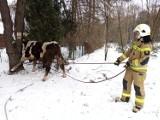 Strażacy i policjanci łapali byka, który uciekł właścicielowi w gminie Poświętne [ZDJĘCIA]