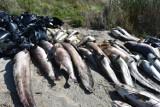 Śnięte ryby na brzegu jeziora Koskowickiego. Jest ich mnóstwo! [ZDJĘCIA]